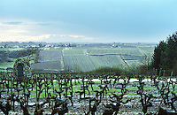 Cordon Royat pruned vines in the vineyard. Close to St Aubin de Luigne. Coteaux du Layon, Anjou, Loire, France