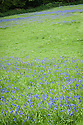 Bluebell meadow, East Sussex, early May.