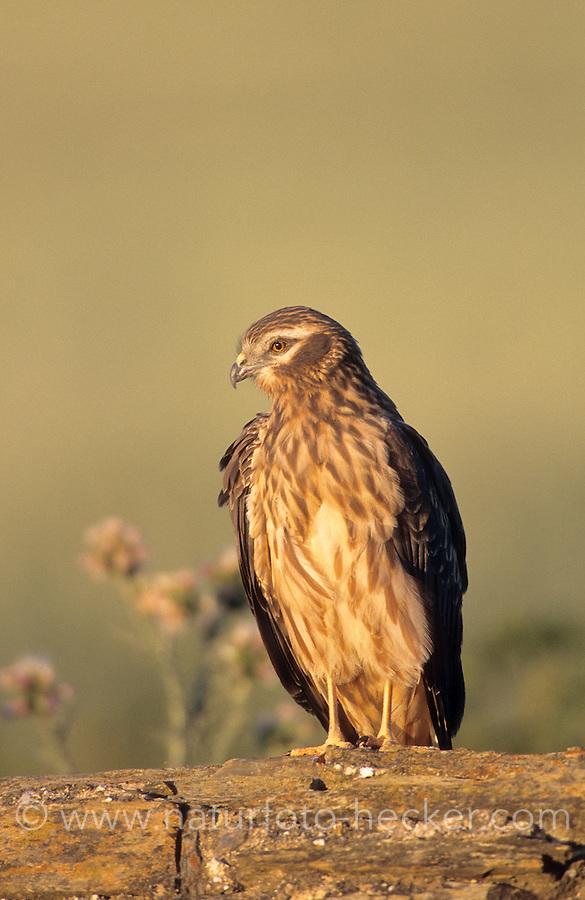 Wiesenweihe, Weibchen im Abendlicht, Wiesen-Weihe, Weihe, Circus pygargus, Montagu'es harrier