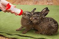Feldhase, Feld-Hase, Hase, Aufzucht Pflege eines verwaisten Junghasen, füttern, Flasche mit Spezial-Aufzuchtsmilch, Milchfläschchen, Jungtier, Tierbaby, Tierbabies, Tierbabys, Lepus europaeus, hare, hares