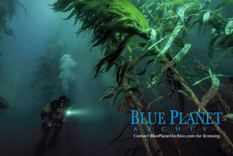 Scuba diver in dark giant kelp, Macrocystis pyrifera, Santa Cruz Island, Channel Islands National Park, California, Pacific Ocean, model release