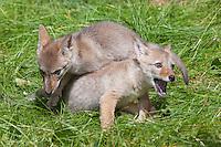 Coyote pups wrestling - CA