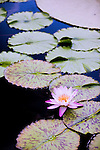 A host of tropical waterlilies, hardy waterlilies, lotuses, and giant water-platters grow in several large lily ponds that lie in a secluded courtyard behind the Conservatory of Longwood Gardens in Kennett Square, Pennysylvania.    Today, Longwood Gardens complements its horticultural displays with more than 400 musical and theatre performances, and other events, per year.