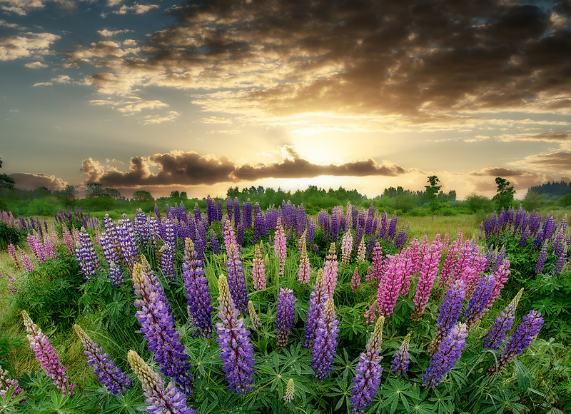 Wild Lupines in field. Graham Oasks Park, Wilsonville, OR
