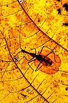 Adult Violin Beetle (Mormolyce borneensis) on decaying leaf on the rain forest floor. Near Ginseng Camp, Sabah's 'Lost World', Maliau Basin, Borneo