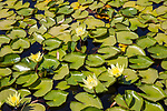 Lilly Pads, Emiliana Organic Vineyards