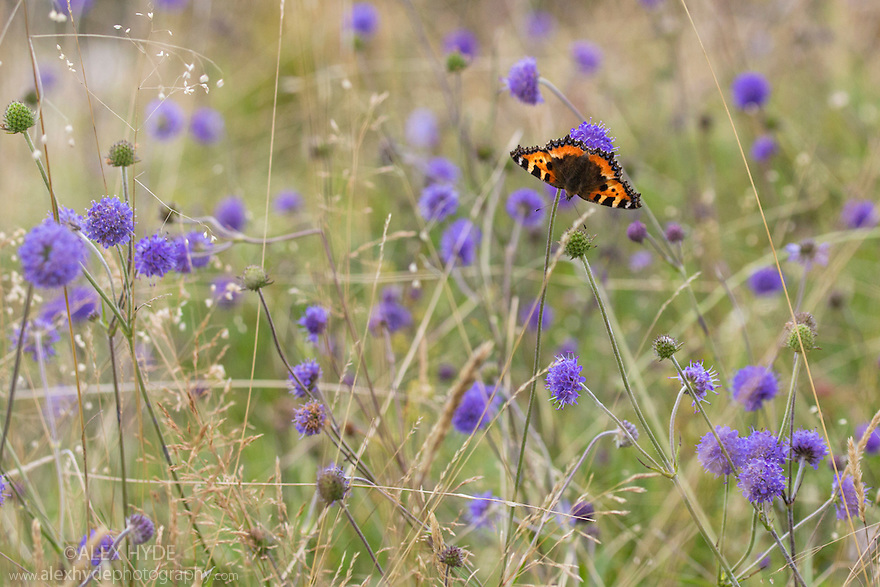 Small tortoiseshell butterfly {Aglais urticae} feeding on Devil's-bit Scabious {Succisa pratensis} growing in calcareous grassland. Peak District National Park, Derbyshire, UK. September.