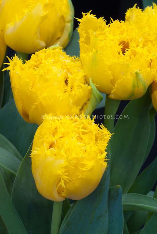 Fringed yellow tulips, Tulipa Mon Amore Division 7