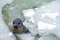 Harbour Seal, phoca vitulina, Head of Adult emerging from Ice, Canada