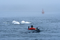 Beluga (Delphinapterus leucas) pod surfacing with snorkelers in the Churchill River, Manitoba, Canada.