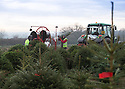 23/11/15<br /> <br /> Surrounded by frost, staff at Cadeby Tree Trust, begin to ship Christmas trees from their yard near Nuneaton, Warwickshire. England's largest Christmas tree grower and whole-seller will sell more than 100,000 trees to garden centres and DIY shops this year. Their yard (photographed) will be empty within ten days.<br /> <br /> All Rights Reserved: F Stop Press Ltd. +44(0)1335 418365   +44 (0)7765 242650 www.fstoppress.com