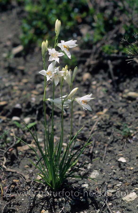 Weiße Trichterlilie, Weisse Trichterlilie, Weiße Paradieslilie, Alpen-Paradieslilie, Paradisea liliastrum, St Bruno's lily