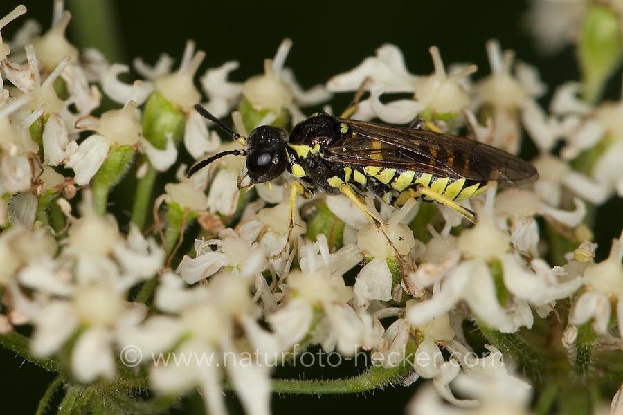 Blattwespe, Tenthredo spec., sawfly