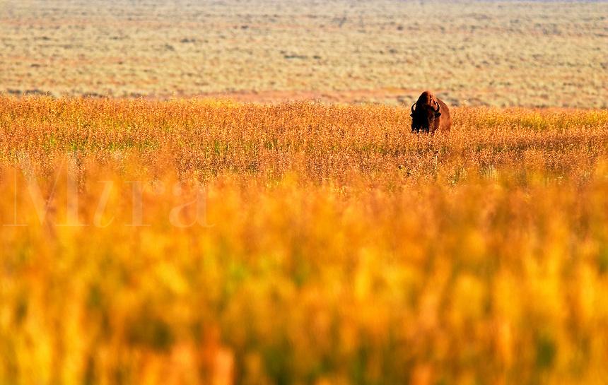 Bison in prairie landscape, Grand Teton National Park, Teton County, Wyoming, USA