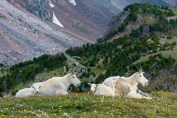 """Mountain Goat (Oreamnos americanus) nannies and kids on edge of alpine meadow in the Beartooth Mountains near the Wyoming/Montana border.  The nanny (on right) is still shedding from her heavy winter coat of fur to a new """"summer weight"""" fur coat which will grow long again for the next winter."""