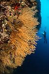 Divers exploring the colourful sea fam covered walls of Stupiste - Vanjska Sika on Vis Island