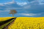 """""""Europa, DEU, Deutschland, Rheinland-Pfalz, Pellenz, Fruehling, Agrarlandschaft, Feld, Raps, Rapsbluete, Himmel, Wolken, Wolkenstimmung; Baum, Weg, Natur, Umwelt, Landschaft, Jahreszeiten, Stimmungen, Landschaftsfotografie, Landschaften, Landschaftsphoto, Landschaftsphotographie, Wetter, Wetterelemente, Wetterlage, Wetterkunde, Witterung, Witterungsbedingungen, Wettererscheinungen, Meteorologie, Wettervorhersage, """"<br /> <br /> [Fuer die Nutzung gelten die jeweils gueltigen Allgemeinen Liefer-und Geschaeftsbedingungen. Nutzung nur gegen Verwendungsmeldung und Nachweis. Download der AGB unter http://www.image-box.com oder werden auf Anfrage zugesendet. Freigabe ist vorher erforderlich. Jede Nutzung des Fotos ist honorarpflichtig gemaess derzeit gueltiger MFM Liste - Kontakt, Uwe Schmid-Fotografie, Duisburg, Tel. (+49).2065.677997, ..archiv@image-box.com, www.image-box.com]"""