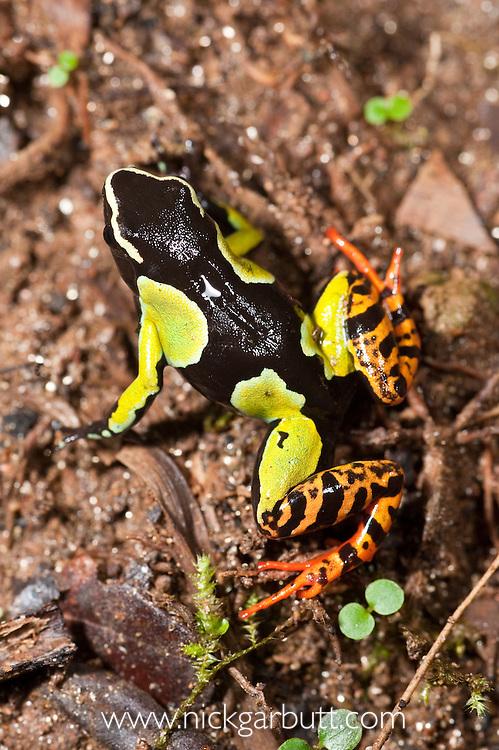 Painted Mantella Frog (Mantella madagascariensis). Andasibe-Mantadia National Park, eastern Madagascar.