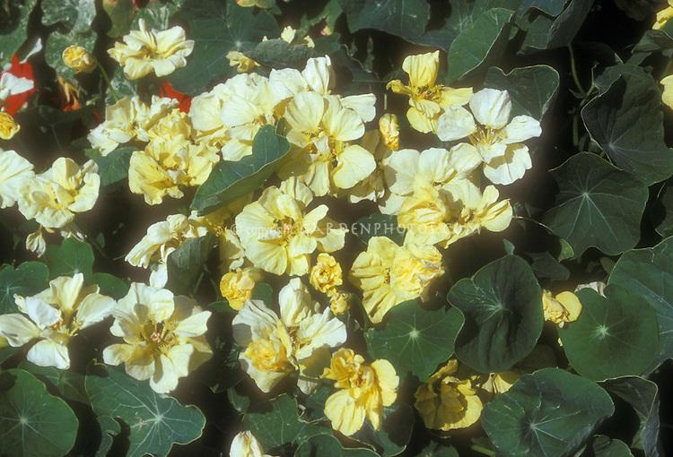 Tropaeolum Double Gleam Cream semi-double nasturtium