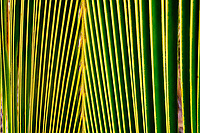 Close up of palm tree leaf. Maui, Hawaii