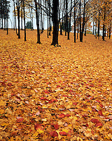 Leaf-covered hiilside in late fall; Pere Marquette State Park, IL