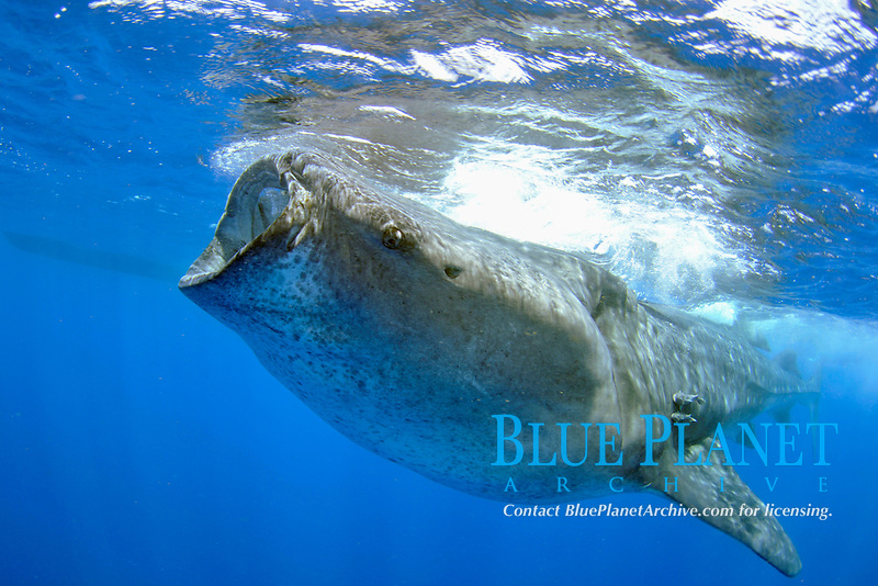 Whale shark, Rhincodon typus, feeding on plankton, Quintana-Roo, Mexico, Caribbean Sea