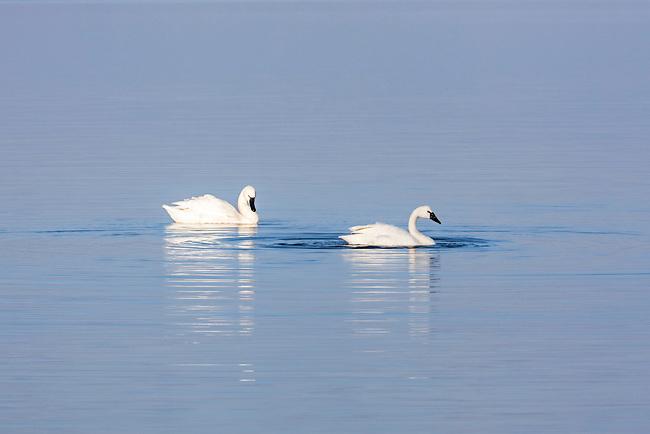 Tundra swans (Cygnus columbianus), Lake Mattamuskeet