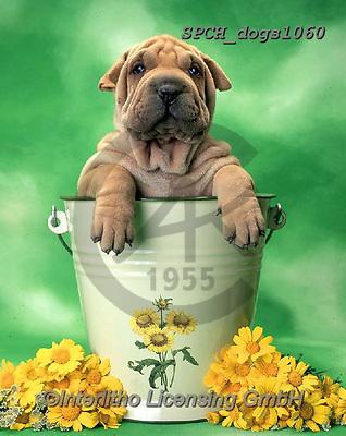 Xavier, ANIMALS, REALISTISCHE TIERE, ANIMALES REALISTICOS, dogs, photos+++++,SPCHDOGS1060,#a#, EVERYDAY