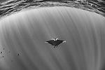 San Benedicto Island, Revillagigedos Islands, Mexico; looking down at a chevron manta ray swimming in blue water near the surface with sun rays streaming in from overhead