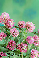 Pink clover, Red clover, Trifolium pratense, pink flower close up with dew and nectar on florets