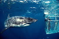 great white shark and divers in cage, Carcharodon carcharias, Dangerous Reef, South Australia