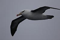 Black Browed Albatross, Thalassarche melanophris, gliding, Elephant island, Bransfield straight, Scotia Sea, Southern Ocean, Antarctica