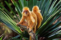 Red langur found in Java.  (This is probably Presbytis comata and it was photographed at the Singapore Zoo)