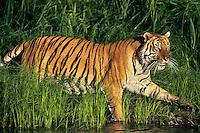 Bengal Tiger (Panthera tigris tigris) walking along edge of pond.