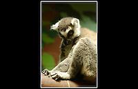 Ring-tailed Lemur (Lemur catta) - Zoological Society of London - 16th June 2003
