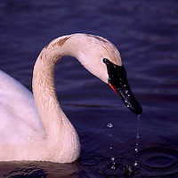 Trumpeter Swan (Cygnus buccinator aka Olor buccinator) swimming in Lake - North American Birds and Swans