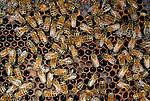 Honeybees, Washington