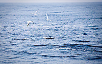 Gulf of Biscay, Spain. The Bluefin tunas are feeding on sardines on the surface of the flat calm sea