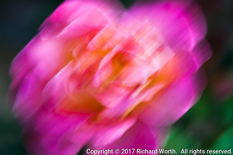 A brightly colored rose is captured in motion along a neighborhood sidewalk.