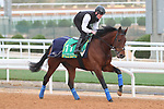 RIYADH, SA February 19 2021: MISHRIFF (IRE) Track work from King Abddulaziz Racetrack, Riyadh, Saudi Arabia. Shamela Hanley/Eclipse Sportswire/CSM FEBRUARY 19 2021: