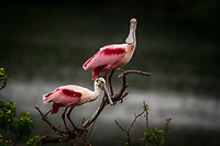 A pair of Roseate Spoonbills perched on a branch at Smith Oaks Rookery near High Island, Texas