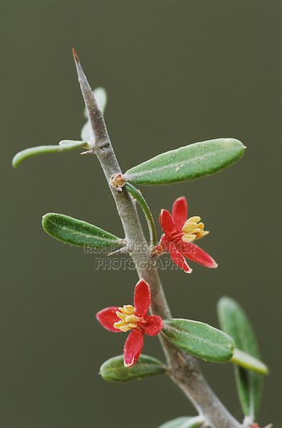 Amargosa, Goatbush, Castela erecta, blossom, Starr County, Rio Grande Valley, Texas, USA, March 2002