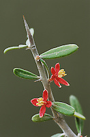 Amargosa, Goatbush, Castela erecta, blossom, Starr County, Rio Grande Valley, Texas, USA, March 2002
