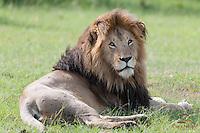 Mating male Lion (Panthera leo) at rest, Masai Mara