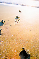 Kemp's ridley sea turtle hatchlings, Lepidochelys kempii, crawling towards ocean, Rancho Nuevo, Mexico, Gulf of Mexico, Caribbean Sea, Atlantic Ocean
