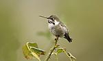 Anna's Hummingbird.Calypte anna.Stevenson Ranch, Ca..November 11, 2007. Fitzroy Barrett
