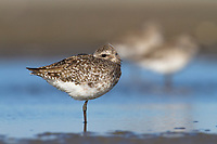 Adult Black-bellied Plover (Pluvialis squatarola) roosting on tidal flats. Terrebonne Parish, Louisiana. October.