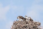Del Mar, California; an Osprey fledgling with a large fish while its two siblings wait for their turn to eat, one of the parents had just dropped the fish into the nest