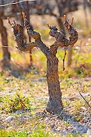 A 60 year old Cinsault vine at Mas de Gourgonnier, in Les Baux de Provence, Bouche du Rhone, France
