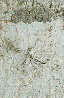Owl Moth, Thysania zenobia, adult on Hackberry Tree Bark camouflaged, Lake Corpus Christi, Texas, USA
